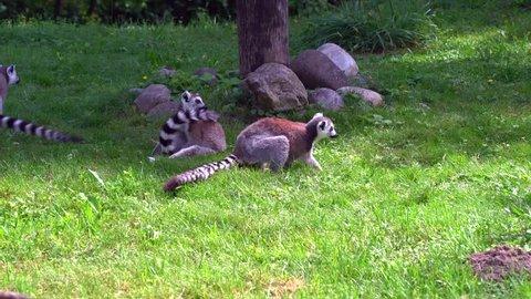 lemur ape madagascar primates
