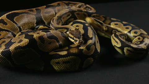 Video of snakes - two crawling pythons