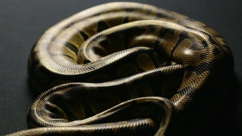 Snakeskin pattern of royal python in shadow