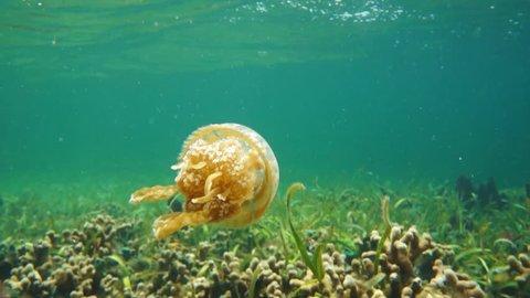 A spotted jelly jellyfish, Mastigias sp., in shallow water, underwater scene, Caribbean sea, Central America, Bocas del Toro, Panama