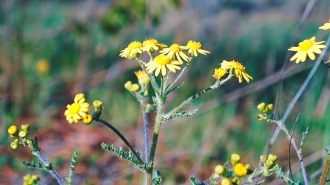 yellow arnica flowers in yellowstone national park