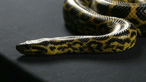 anaconda snake videos