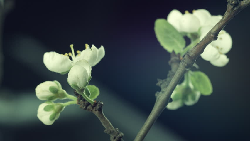 Beautiful Spring  Plum or Apricot tree flowers blossom timelapse, extreme close up. Time lapse of Easter fresh white blossoming orchard tree closeup. 4K UHD video