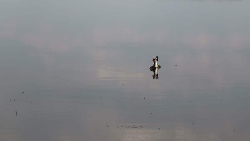 Love games of pair of Great crested grebe (Podiceps cristatus) in native habitat.