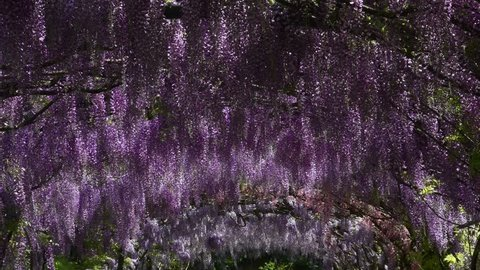 Beautiful Wisteria in bloom at famous Bardini garden in Florence, Italy. 4K Ultra HD Video.