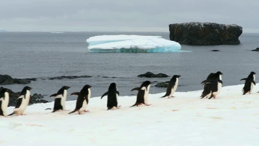 adelie penguin colony, brown bluff, antarctica