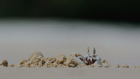 A ghost crab digging hole the sand at White Sand Beach ,Andaman Sea ,Mu Koh Surin Marine national Park ,Thailand