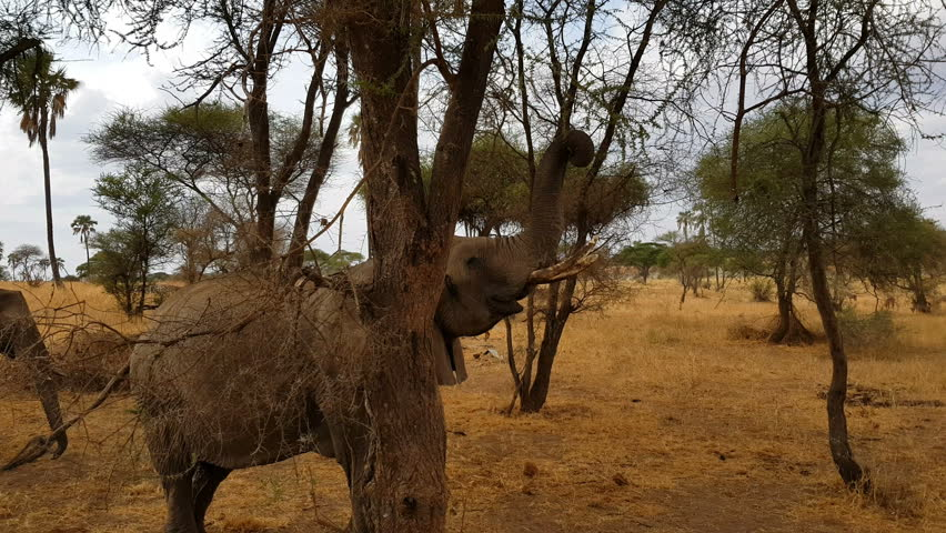Elephants at game drive reserve tarangire Tanzania