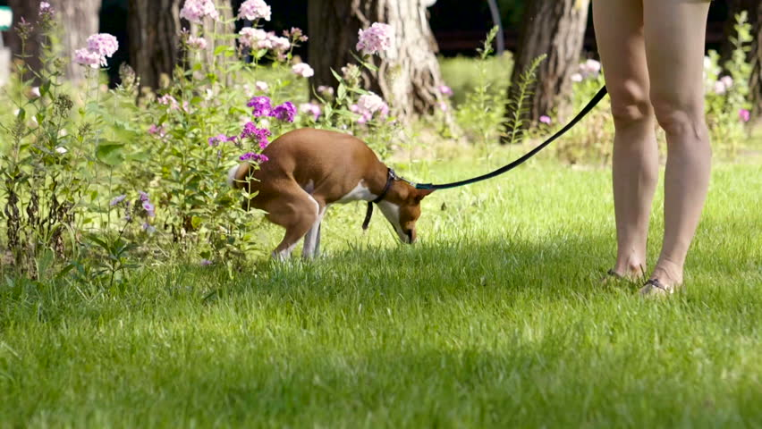 Dog walking.    Basenji dog making a poop on grass in the summer park. Slow motion. HD
