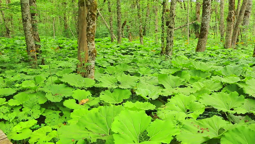 Butterbur Large Leaves In The Forest. Petasites Hybridus | Shutterstock HD Video #1010269268