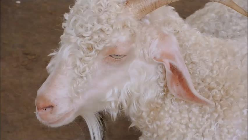 The footage of white Angora goat in close up with body shaking when Breathe in and out.