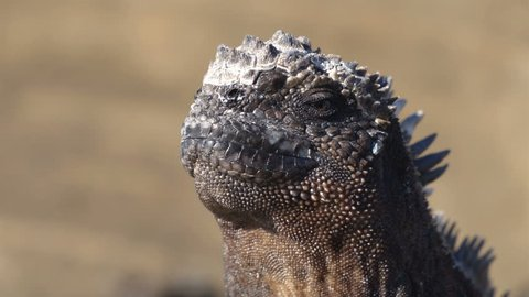 Galapagos Marine Iguana Sneezing excreting salt by nose - funny animals. Close up of Mariane iguana on Galapagos Islands, Ecuador.
