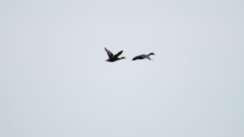 Two Mallard Ducks Flying against sky