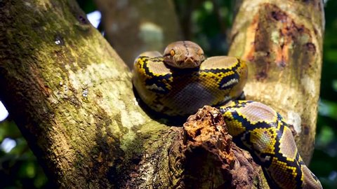 Beautiful close up of facing Phyton snake rest on the tree with zoom in motion.
