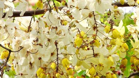 4K White nealiae ainbow cassia fistula floer.