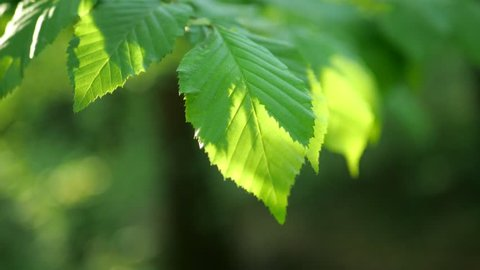 Beech leaves in sunset as a video background