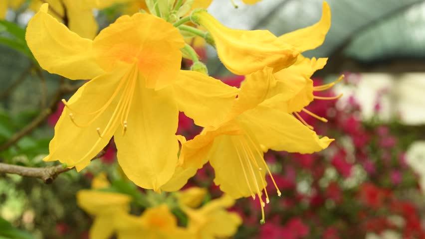 beautiful yellow azaleas during springtime. 4K UHD Nikon D500