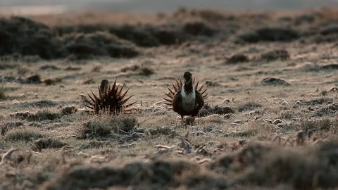 Greater Sage-Grouse Fight and Standoff