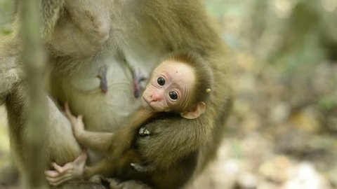 Baby monkey,Infant of Assam macaque in forest,Wildlife footage