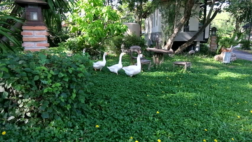White Ducks or goose walking line up in a row follow each other across the road. Natural Background. Farm Life. Lifestyle of Animal. Rural Life.