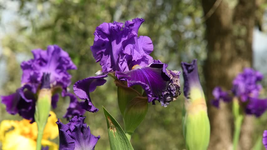 Purple irises moving on the wind in a famous florence garden, Italy. 4K UHD Video footage, static camera. Nikon D500 | Shutterstock HD Video #1010473088