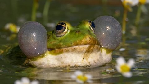 Green marsh frog (Pelophylax ridibundus) mating call