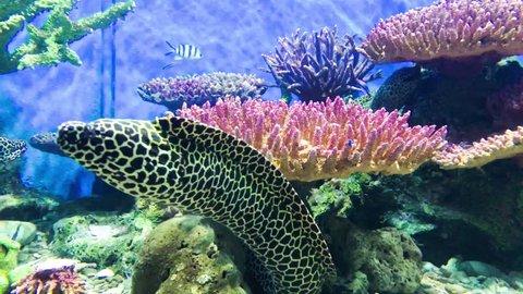 Spotted moray eel , Gymnothorax isingteena ,  Honeycomb moray eel in the coral reef