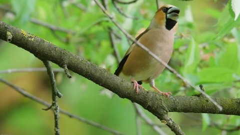 Hawfinch. Singing male in spring forest.