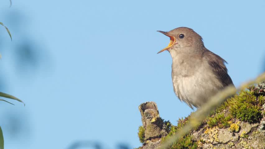 Singing nightingale. Singing bird in spring. Thrush nightingale. Luscinia luscinia. | Shutterstock HD Video #1010722568