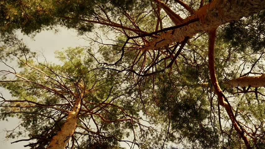 Pine forest in the sunset. A view from below of the crown of trees