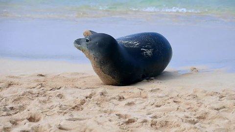 A monk seal crawling along a beach shore in Hawaii