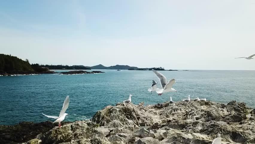 Seagulls in slow motion in beautiful coastal scene in Tofino Vancouver Island | Shutterstock HD Video #1010816198