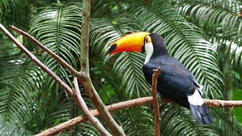 Toucan bird taking flight in natural setting, Iguazu Falls, Brazil.