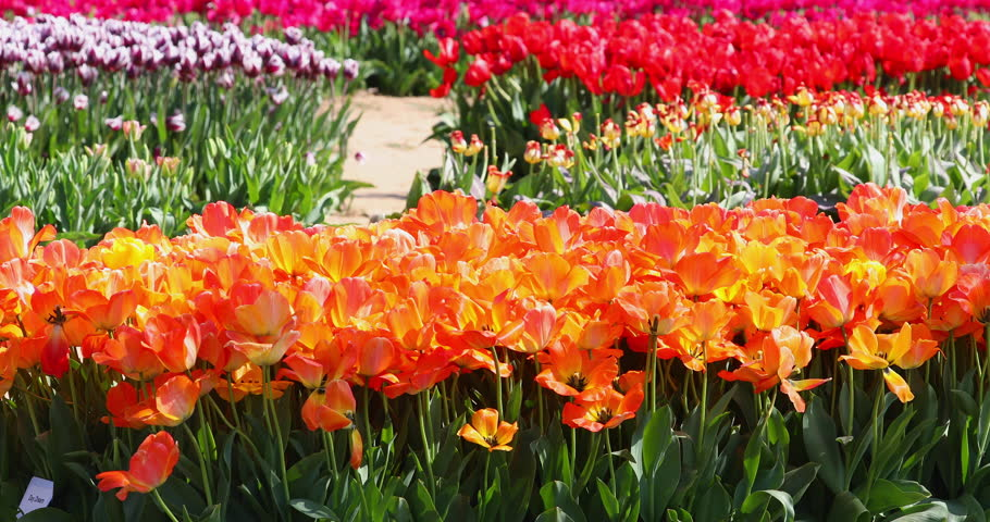 Bunch Of Colorful Tulips - An abundance and variety of colorful tulips in the farm field sway in the wind during the Tulip Festival in spring.