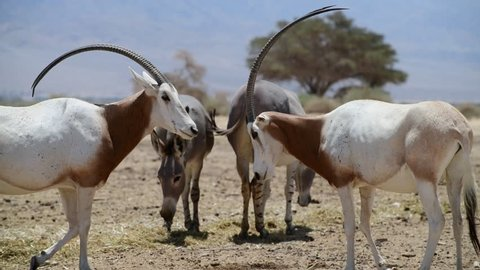 Antelope scimitar horn Oryx (Oryx leucoryx) and Somali semi-domesticated  donkey (Equus africanus). These species are rare both in nature and in captivity. Middle East, Nature Reserve Park. 4K video
