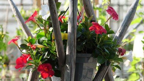 dipladenia red closeup at decorativ garden. Erlen, CH Switzerland