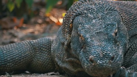 Komodo Dragon Tilting Its Head In the Wild Surrounded By Trees