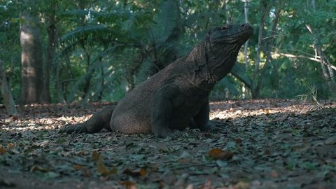 Cinematic Shot of Komodo Dragon in the Jungle Surrounded By Trees