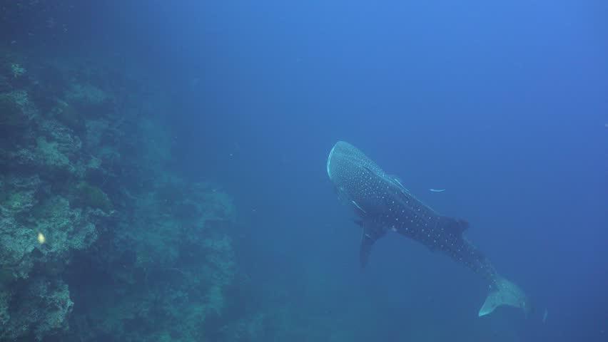Diver floats close to a whale shark | Shutterstock HD Video #1011056198