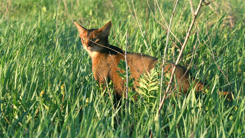 Abyssinian cat enjoying morning walk on wet grass with dew drops