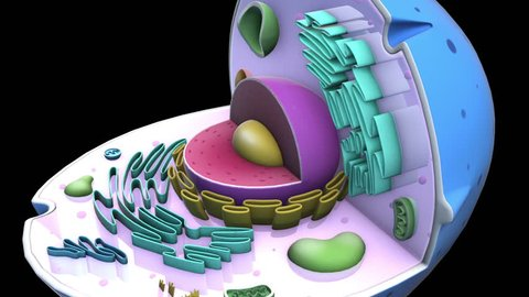 Human CELL - Nucleus
