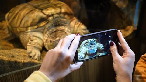 In the Aquarium Museum in Gdynia Poland woman visitor takes phone pictures of big turtle