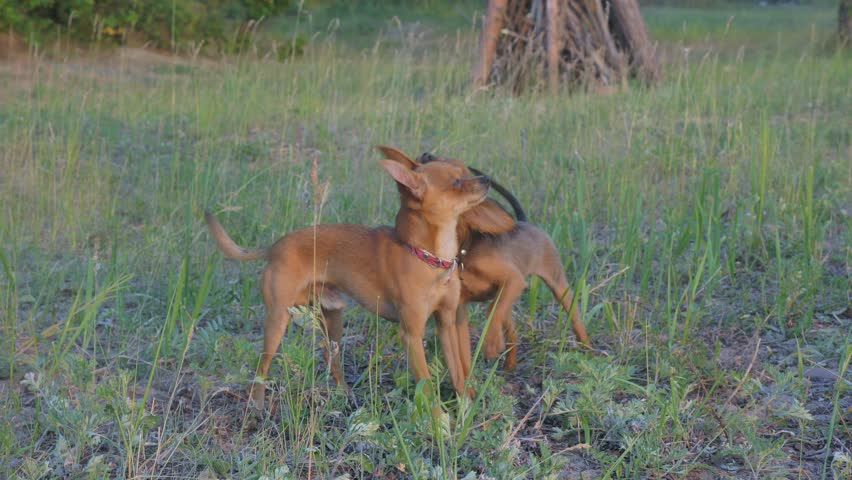 Super slow motion shot of two small dogs Toy Terrier roughhousing on grass, funny battle of young beagle and white terrier. Doggy wrestling. | Shutterstock HD Video #1011085628