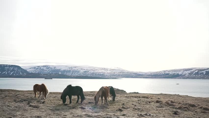 Icelandic horses graze near the lake.
