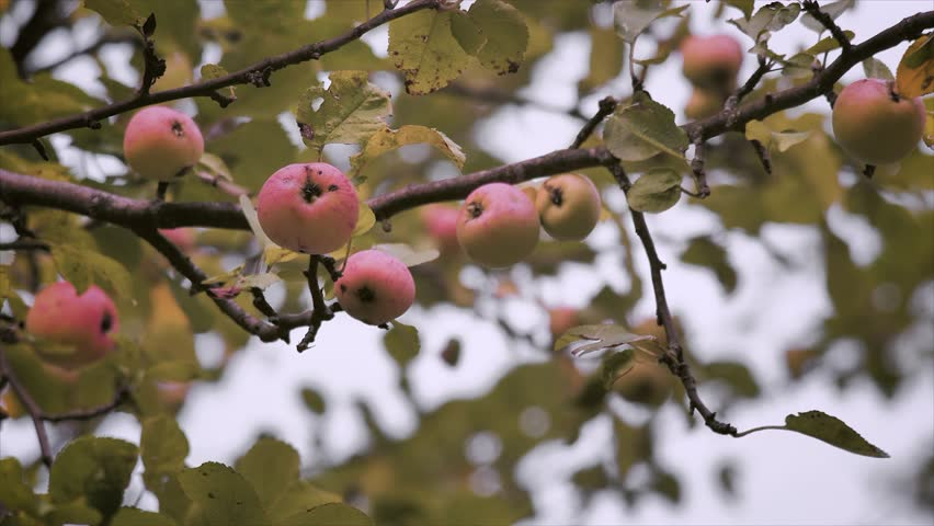 organic apples on the apple tree hanging on a branch. Static frame.