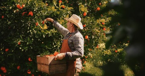 Farmer picking fresh orange produce from orange trees in agricultural field
