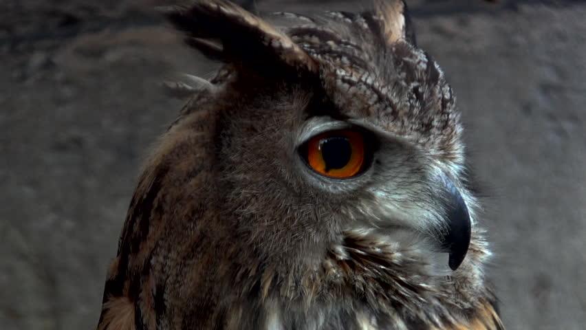 Close-up of an Eurasian eagle owl looking at the camera #1011200918