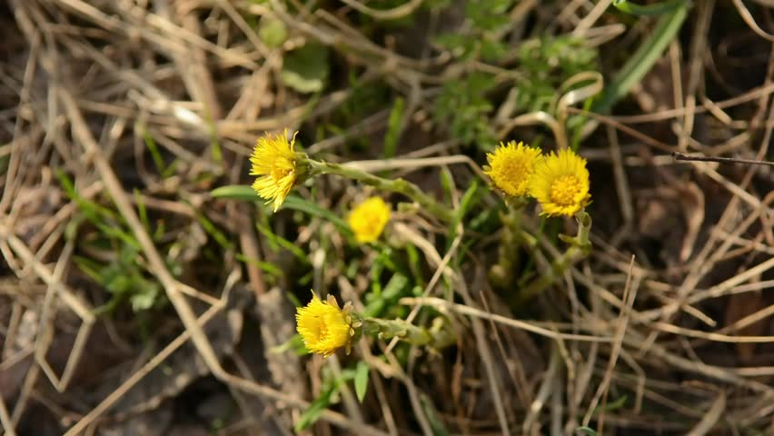 Coltsfoot Tussilago farfara yellow spring flowers. Medicinal plant, blossoming at the beginning of spring.