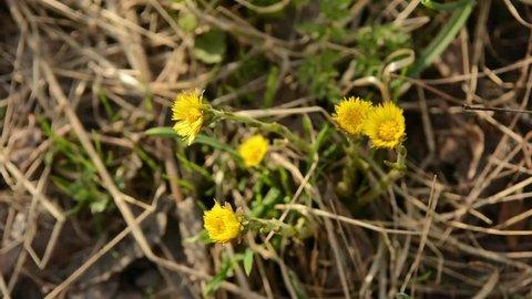 Coltsfoot Tussilago farfara yellow spring flowers. Medicinal plant, blossoming at the beginning of spring.