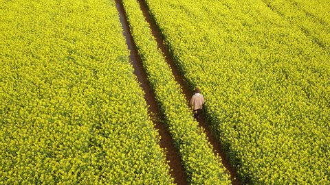 4K Aerial of man walking through a yellow flower farmers field with blue sky and clouds. Great British moving drone shot of a path within rural farming countryside